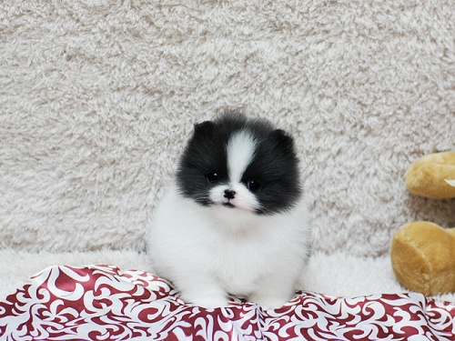 Bild    Pomeranian Valp