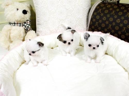 Bild 3 Härliga Chihuahua valpar söker nytt hem 6000 Sek.