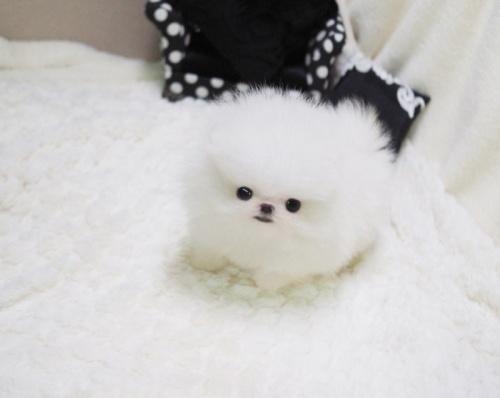 Bild   Pomeranian valp till salu.