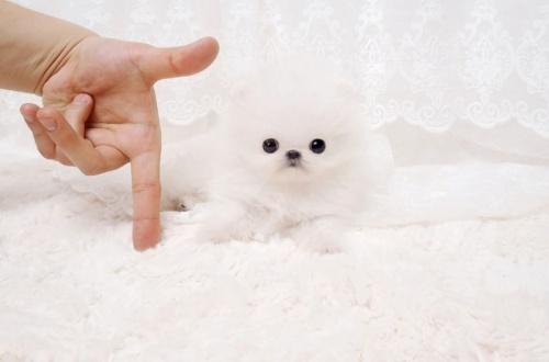 Bild  Pomeranian valp för nya hem.