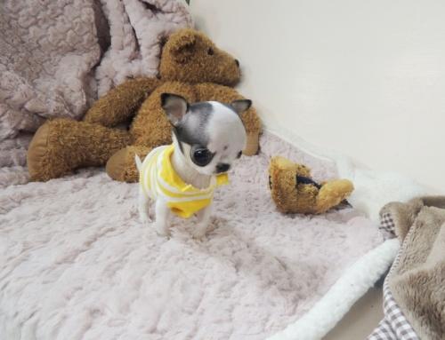 Bild  Kvinnlig Chihuahua valp till salu.
