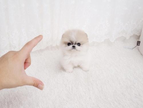 Bild   Kvinnlig Pomeranian valp för nya hem.