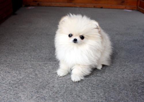 Bild  Hög kvalitet Pomeranian valp till salu