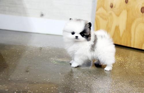 Bild  söt och liten Pomeranian valp till salu.